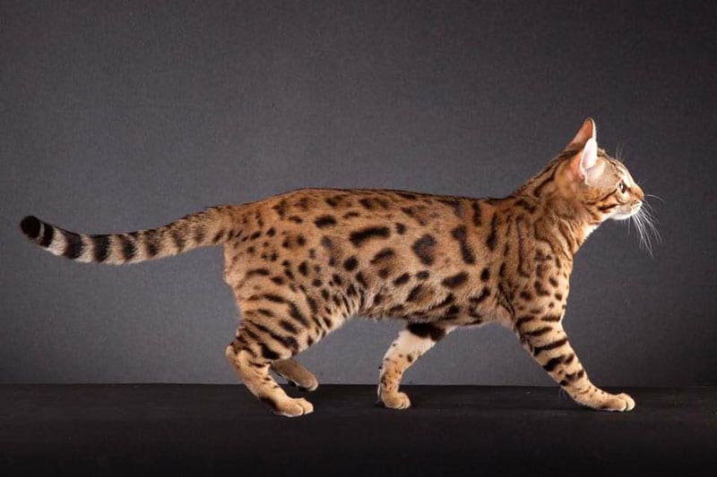 Wilddiamond Cattery - Brown Bengal