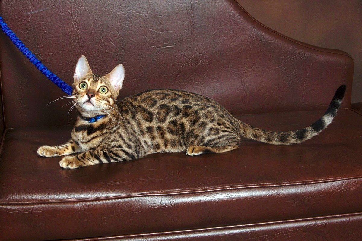 Adore Cats Bengals - Brown Rosetted Bengal Cat