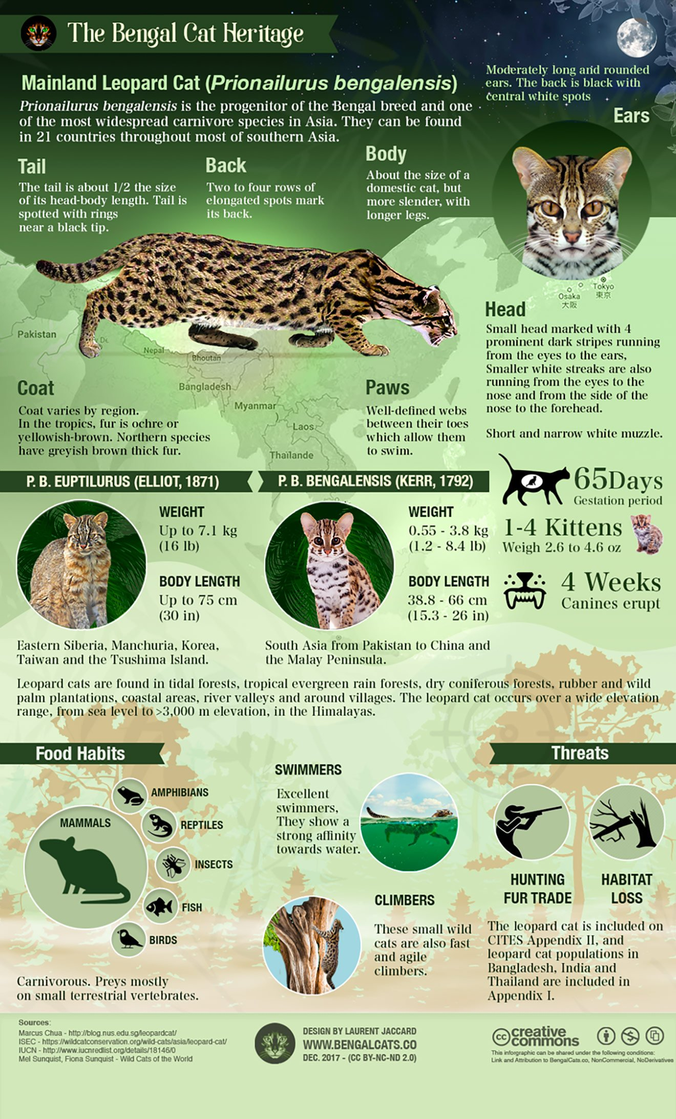 Infographic about the Leopard cat (Prionailurus bengalensis)