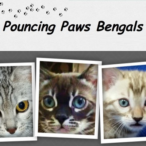 Pouncing Paws Bengals