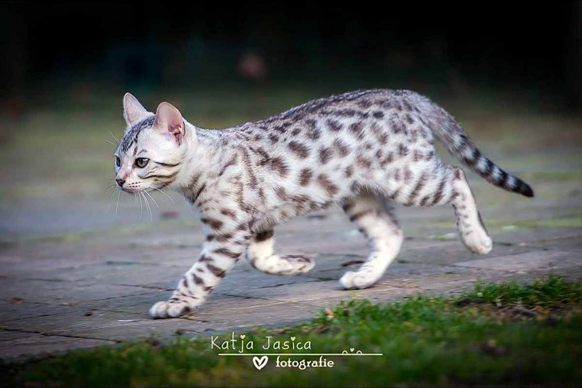 Texas Star Bengals - Black Silver Spotted Rosette Female