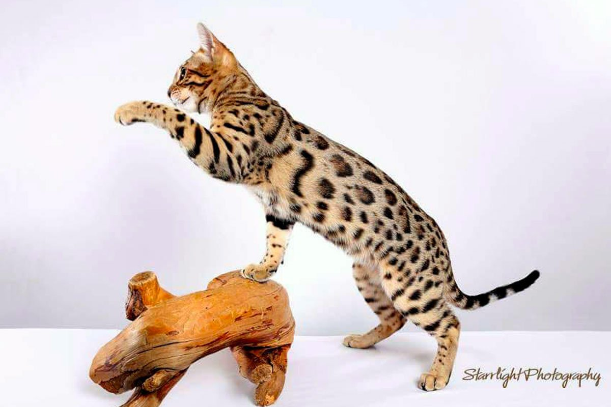 Texas Star Bengals - Brown Spotted Tabby Male