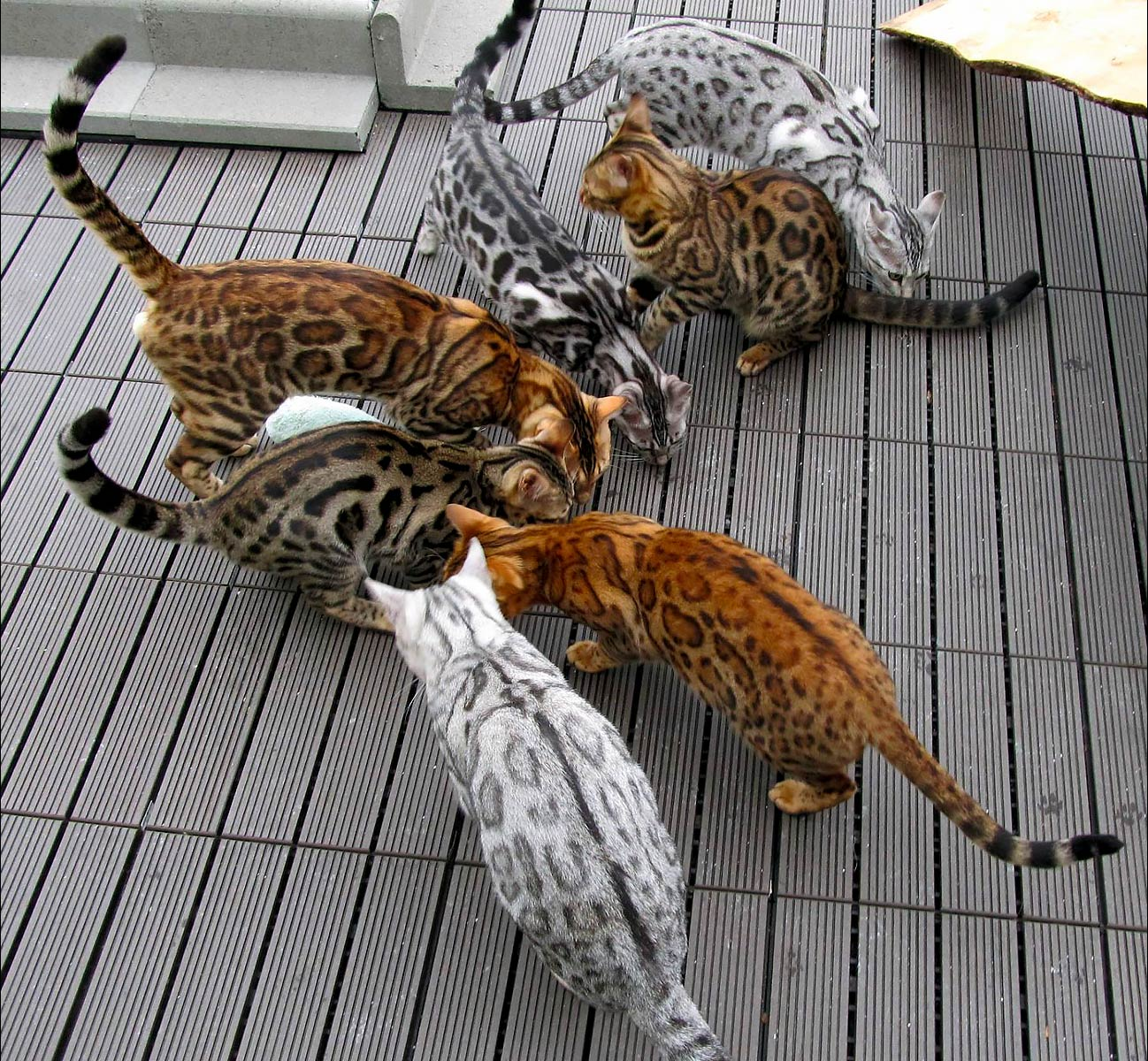 Bengal Cat Colors and Patterns Visual Guide