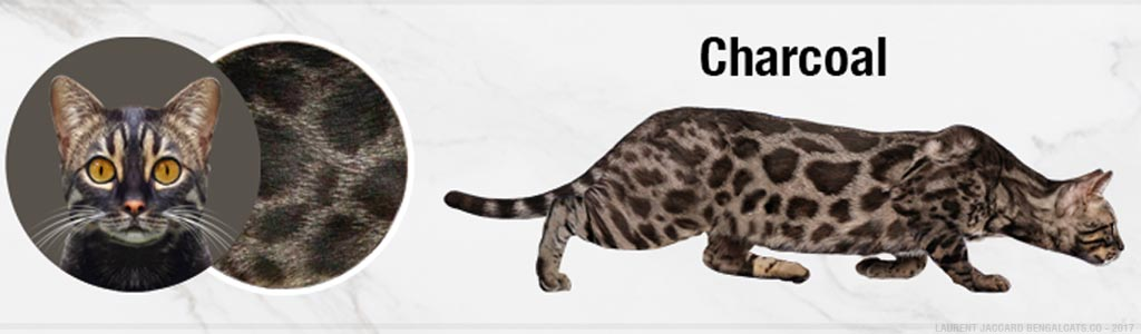 4d7e3f541e Bengal Cat Colors and Patterns Visual Guide