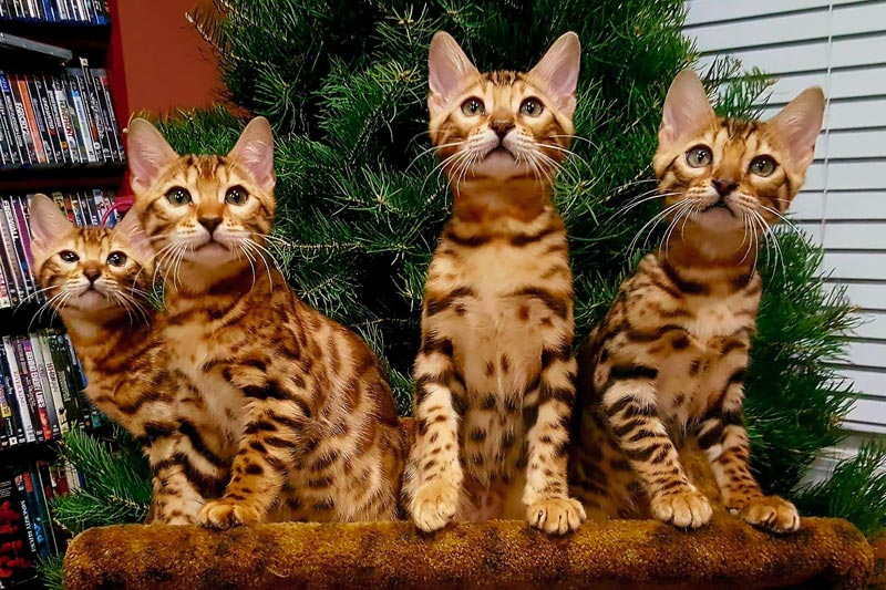 Giannisbengal Brown Bengal kittens Christmas