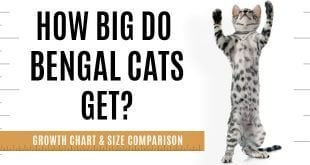 Bengal cat size, weight and comparison chart