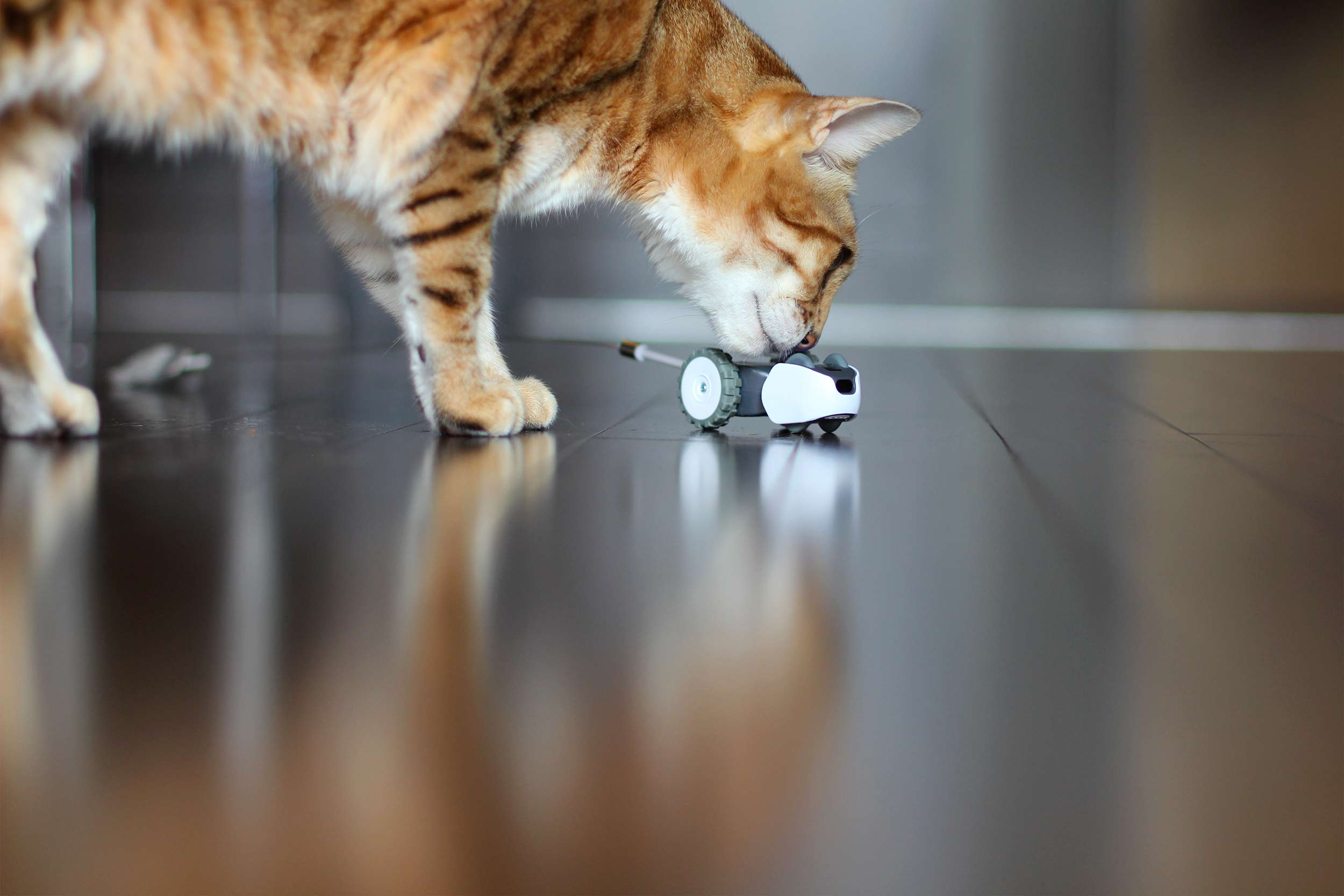 Mousr, intelligent robotic cat toy with a Bengal cat