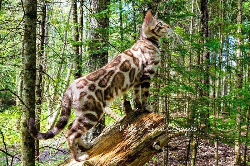 Wild'n Sweet Bengals - Kijani