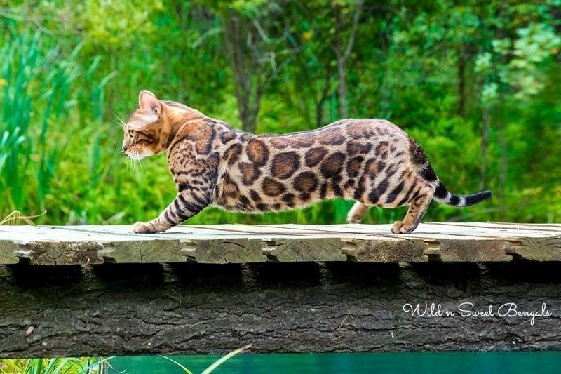 Wild'n Sweet Bengals - Tsar