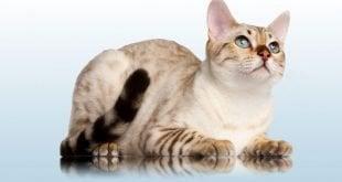 Snow Bengal Cat cover photo