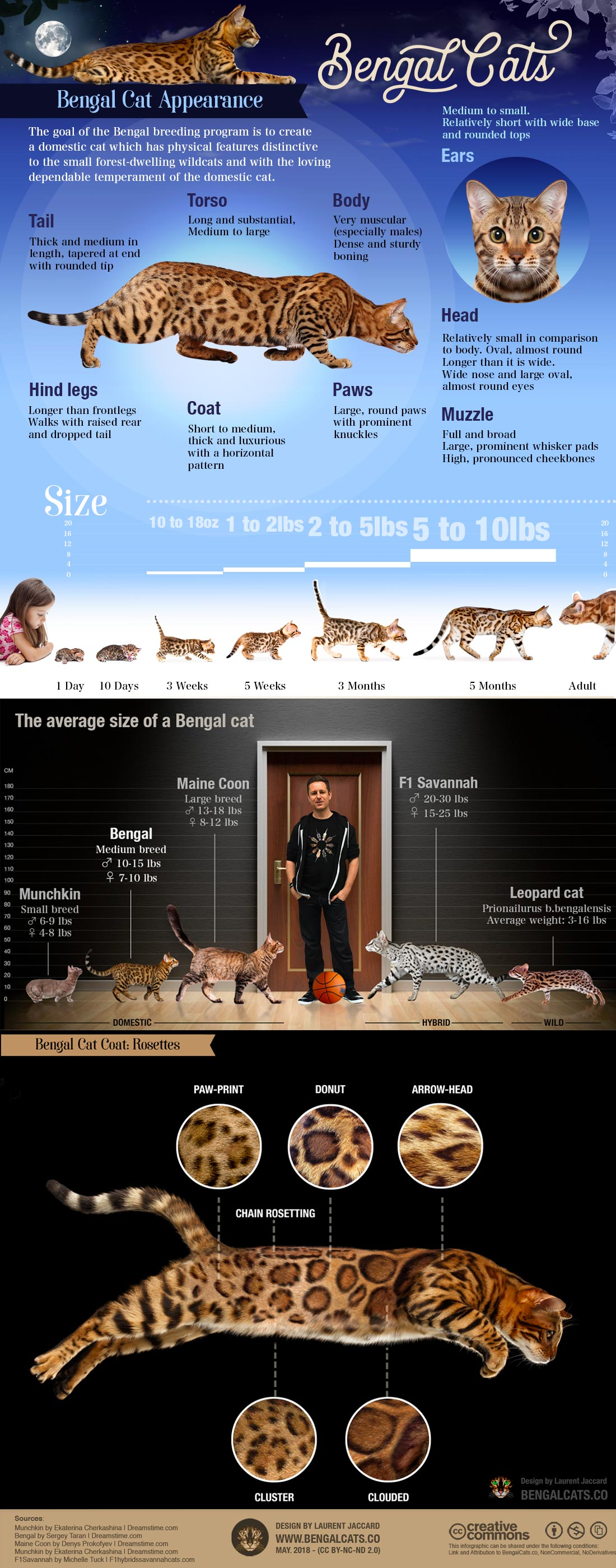 Bengal cat breed Infographic