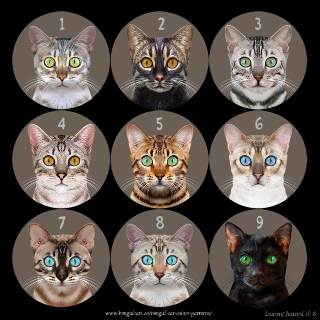 Bengal cat eye colors