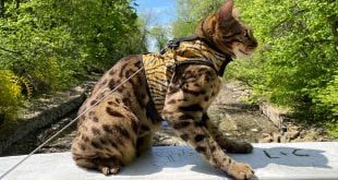 Bengal cat walking harness and leash