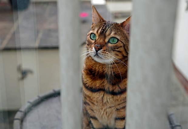 Pixel the Bengal cat