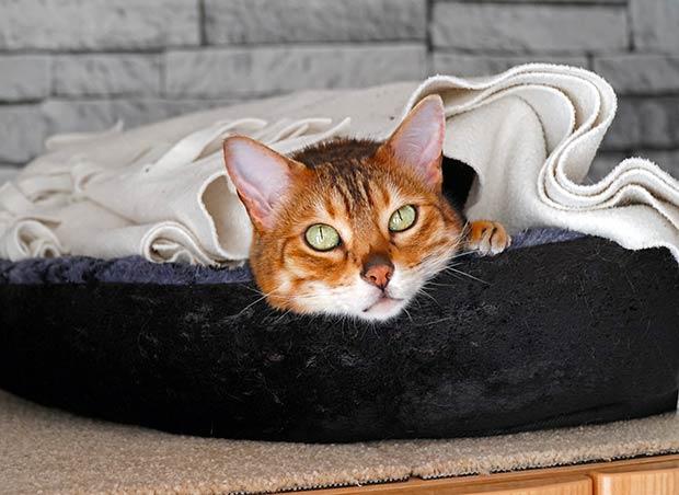 Sushi the Bengal cat