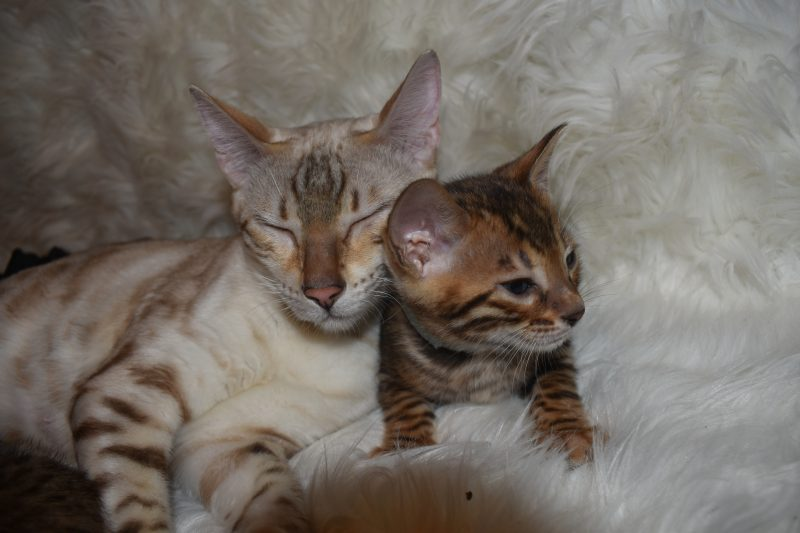Kitten Bengals In Purradise