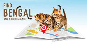 Bengal cat breeder directory